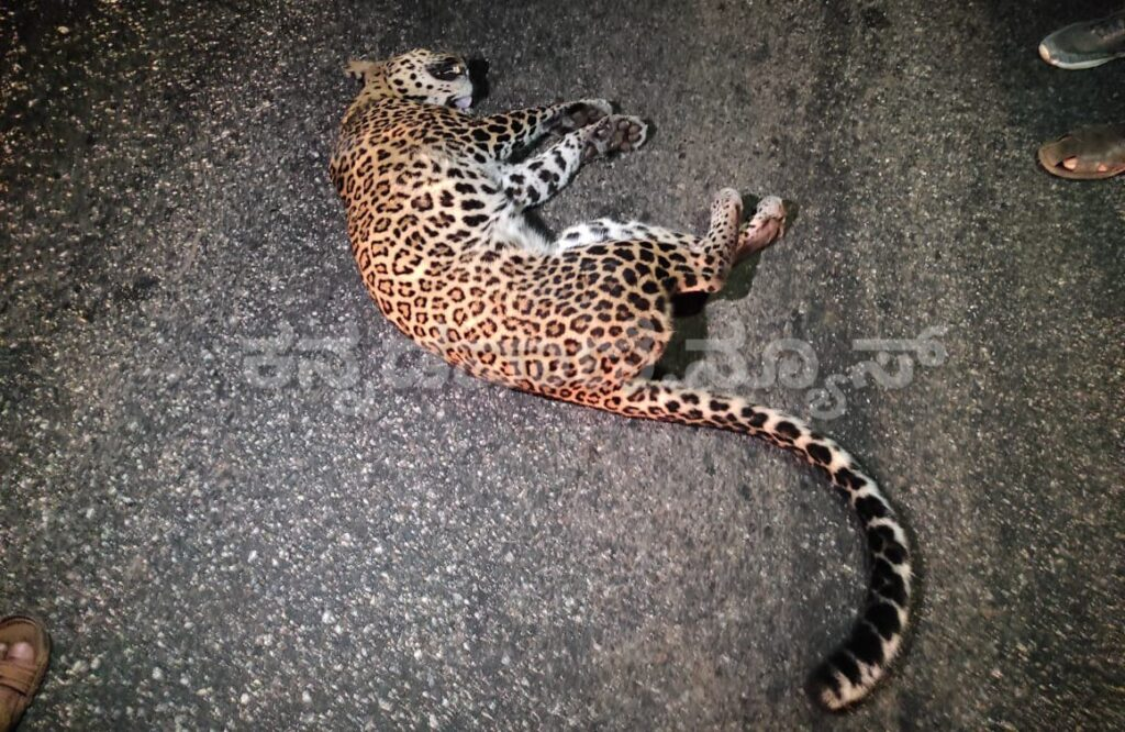 Ankola road accident Panther death Uttara Kannada wildlife